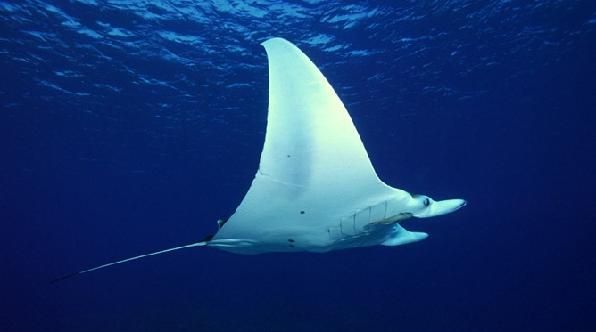 the-manta-ray-underwater-background