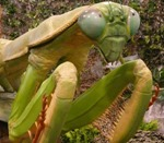 resized_chinese_praying_mantis