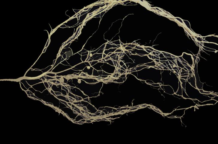 nexus2cee_Robinia_pseudoacacia_root_system.png