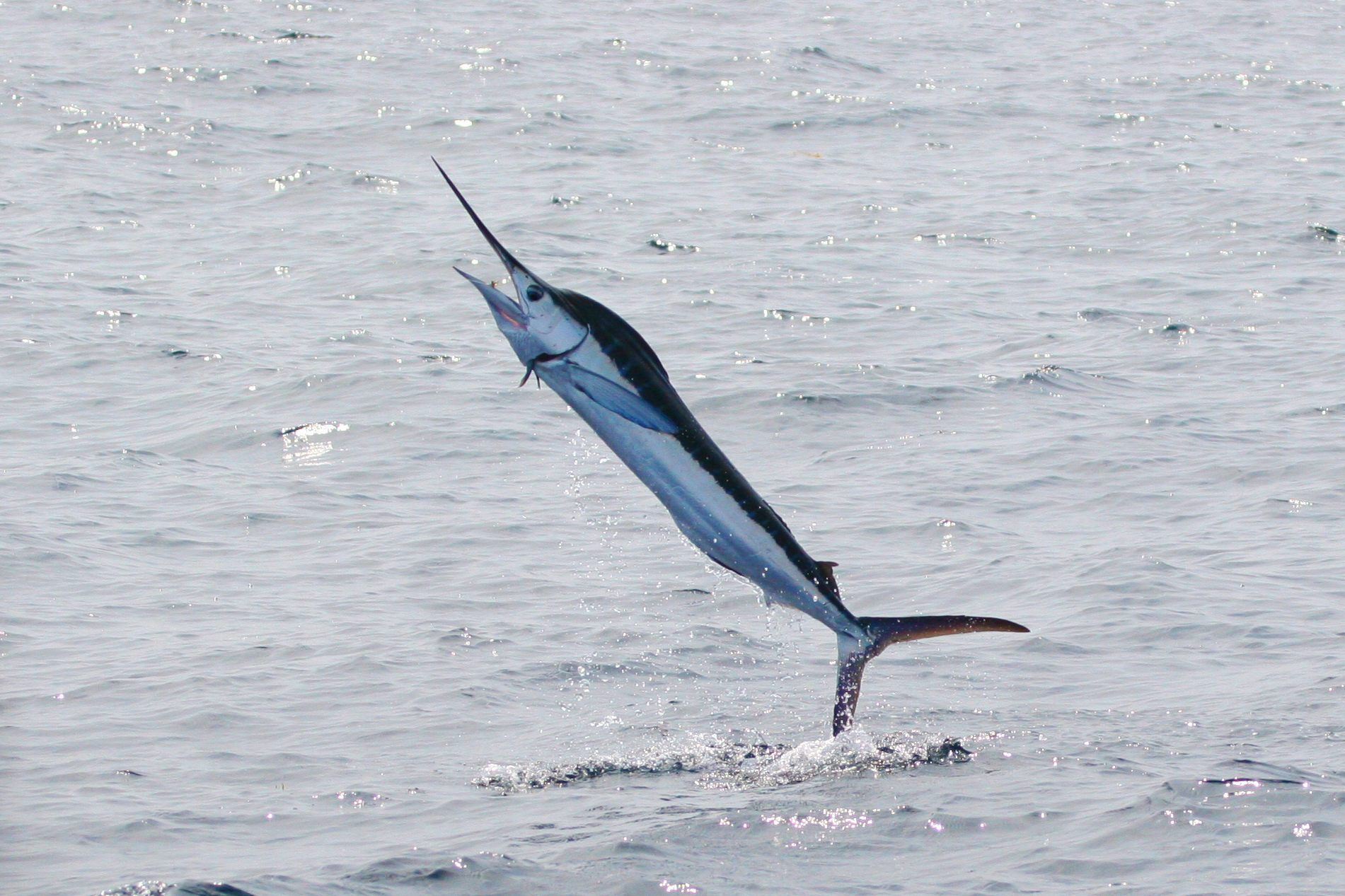 marlin - photo #2