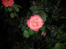 iblazr-2-sample-coral-flower-flash