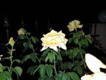 iblazr-2-sample-yellow-flower-flash
