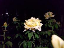 iblazr-2-sample-yellow-flower-iblazr-flash